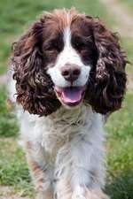 The English Springer Spaniel Dog Journal