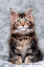 Maine Coon Kitten Workbook of Affirmations Maine Coon Kitten Workbook of Affirmations