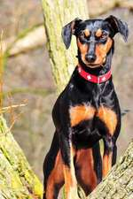 The German Pinscher Dog Journal