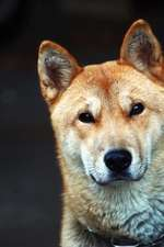 The Jindo Dog Journal