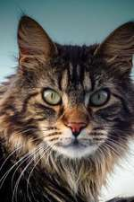 The Maine Coon Cat Journal Know Your Place, Human. I Am Your Master.