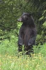 The Black Bear Journal
