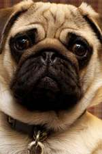 Sad Pug Dog Thinks You Don't Love Him Anymore Journal