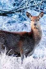 A Deer in Glen Roe During Mid Winter Scotland Journal