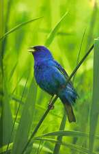 Indigo Bunting Blank Journal